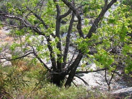 California Black Walnut Trees City Of Walnut Ca